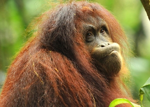Sepilok Orangutan Rehabilitation