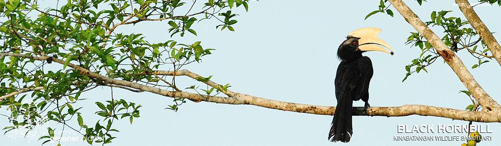 Hornbill, Sepilok Orangutan Rehabilitation